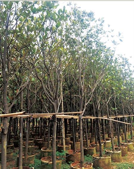 昆明庭院常绿树种